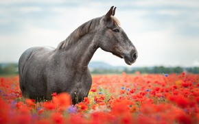 Picture horse, horse, Maki, meadow