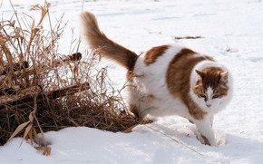 Picture winter, field, cat, cat, snow, nature, pipe, pose, red, the snow, walk, spotted, dry grass, …
