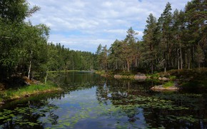 Picture forest, leaves, lake, pond, pine, pond