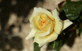 Picture rose, petals, yellow
