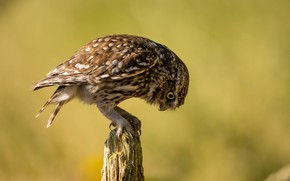 Picture bird, snag, little owl