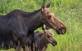 Picture background, baby, pair, cub, two, moose, muzzle, moose, mother, calf, moose, two elk, calf