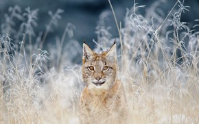 Picture cat, grass, nature, common lynx