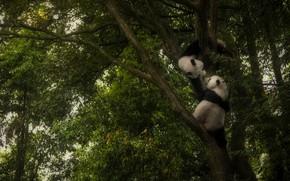 Picture tree, the game, Panda, play, Panda