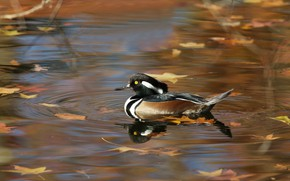 Picture autumn, leaves, pond, reflection, bird, duck, pond, swimming, karolinka