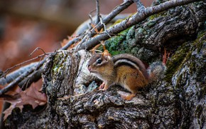 Picture stump, Chipmunk, snag, rodent