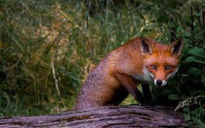 Picture grass, look, face, leaves, nature, pose, background, paws, Fox, red, log, Fox