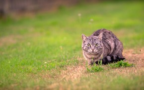 Picture cat, grass, cat, look, grey, glade, walk, striped, lawn