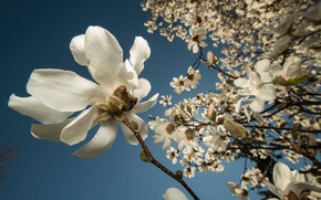 Picture flowers, branches, spring, white, buds, flowering, Magnolia