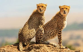 Picture background, pair, Cheetah, two, sitting, poses, cheetahs
