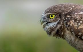 Picture nature, owl, bird