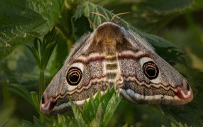 Picture macro, Emperor moth, background, wings, hairy, leaves, insect, plant, butterfly, pattern