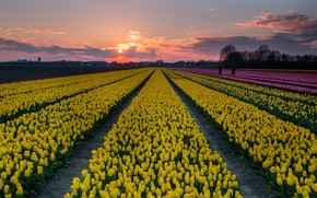 Picture field, yellow, tulips
