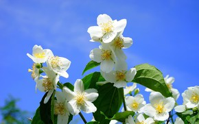 Picture the sun, flowering, Jasmine