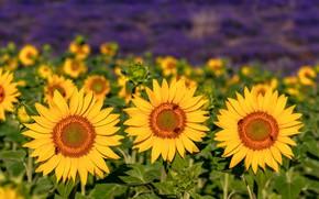 Picture field, summer, sunflowers, trio