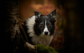 Picture look, face, background, tree, moss, dog, The border collie