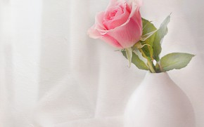 Picture pink, rose, white, vase
