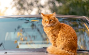Picture machine, autumn, cat, cat, look, glass, branches, reflection, background, red, car, sitting, bokeh, windshield