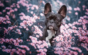 Picture look, face, flowers, nature, background, black, portrait, dog, garden, pink, French bulldog