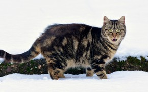 Picture winter, language, cat, cat, look, snow, the snow, tabby