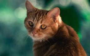 Picture cat, cat, look, background, red, muzzle, cat
