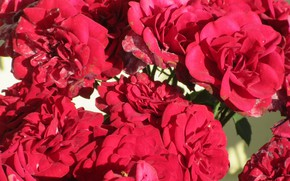 Picture flowers, roses, bouquet, red, Mamala ©, summer 2018