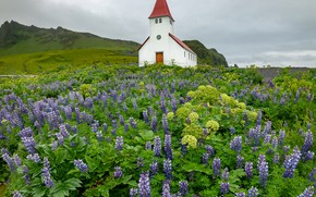 Picture flowers, village, hill, meadow, Church, Iceland, a lot, lilac, lupins, Vic