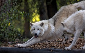 Picture autumn, forest, white, look, face, leaves, pose, the dark background, background, wolf, paws, pair, wolves, …