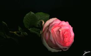 Picture rose, black background, pink rose