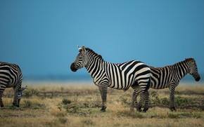 Picture field, the sky, look, blue, vegetation, pasture, Zebra, Savannah, three, Zebra, three zebras