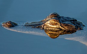Picture look, face, water, reflection, crocodile, bathing, pond, blue background, swimming, reptile