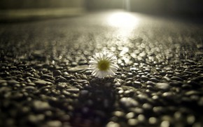 Picture flower, street, Daisy