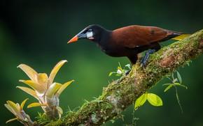 Picture tropics, bird, Toucan