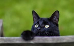 Picture cat, black, curiosity