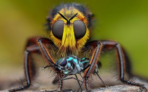 Picture eyes, look, macro, insects, fly, two, flies, fly