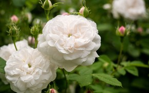 Picture white, roses, buds