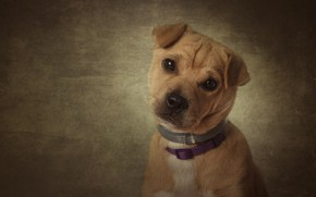 Picture look, background, portrait, dog, puppy, face, doggie, collars