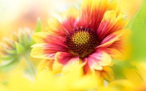 Picture flower, macro, yellow, red, blur, petals, gaylardiya