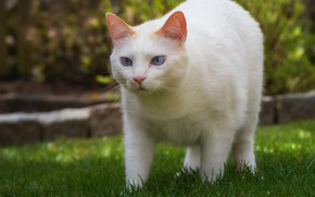 Picture greens, cat, white, grass, cat, look, spring, garden, white, walk, blue eyes, lawn