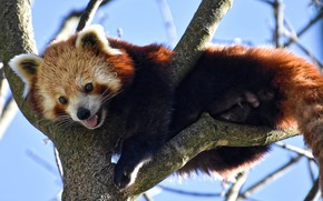 Picture branches, nature, tree, animal, red Panda, red Panda