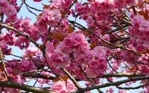 Picture flowers, branches, spring, Sakura, flowering, a lot