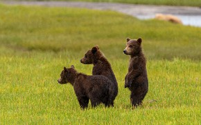 Picture glade, bear, bears, bears, trio, three bear