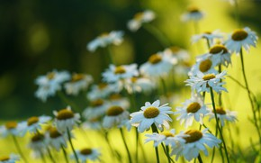 Picture summer, nature, chamomile, bokeh
