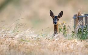 Picture grass, face, nature, ears, ROE, bokeh, Peeps