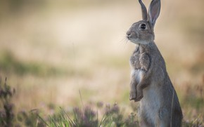 Picture hare, Bunny, stand, bokeh