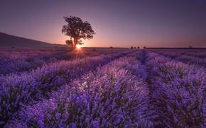 Picture Field, Tree, Sunrise, Lavender, Shine