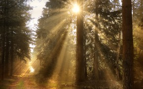 Picture forest, the sun, rays, light, branches, fog, morning, pine, path, Bor, pine