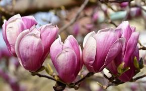 Picture branch, flowering, Magnolia
