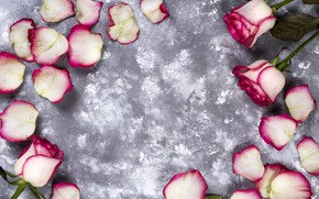 Picture flowers, roses, petals, pink, white, pink, flowers, beautiful, petals, roses