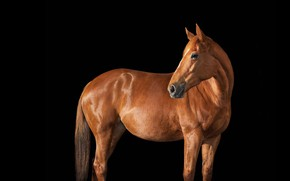 Picture photo, horse, horse, black background